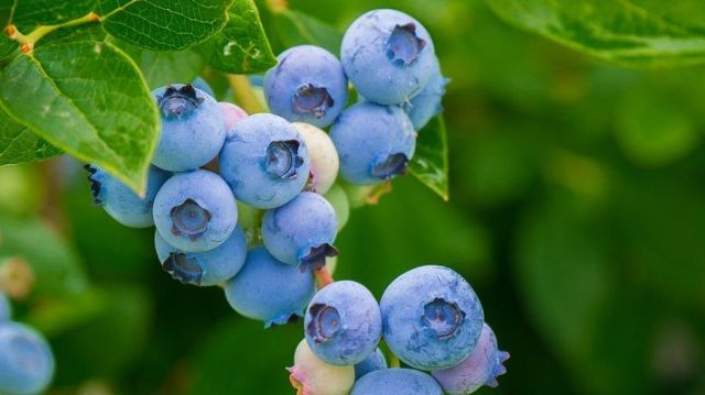 blueberry is human food that cats can eat