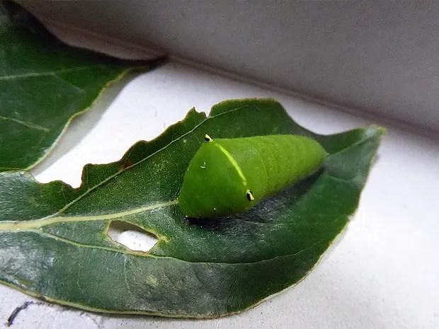 アオスジアゲハの幼虫を保護した。