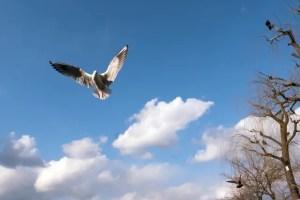 気持ちよさげに飛ぶユリカモメ。