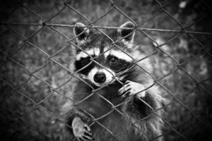animal-black-and-white-fence-160709