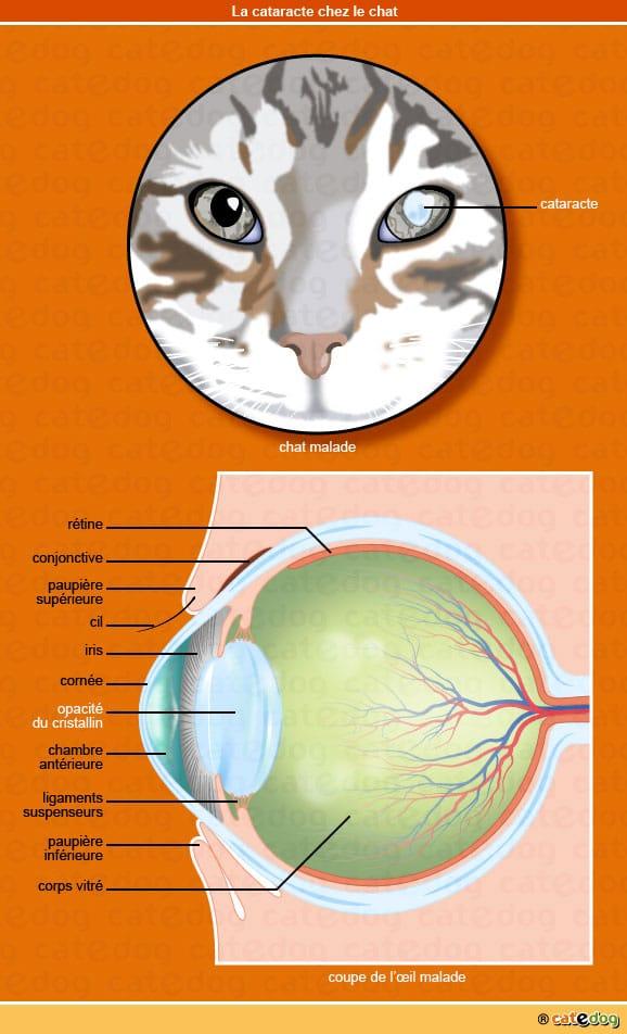 cataracte du chat symptome