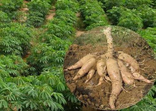 Manioca-Ricette-e-9-importanti-proprietà-medicinali-proprieta