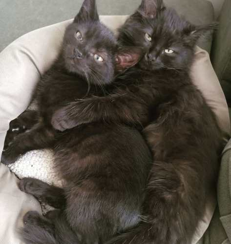 two cute black kittens cuddling