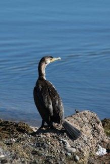 IMG_8291_cormorant