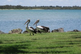 The resident Pelicans