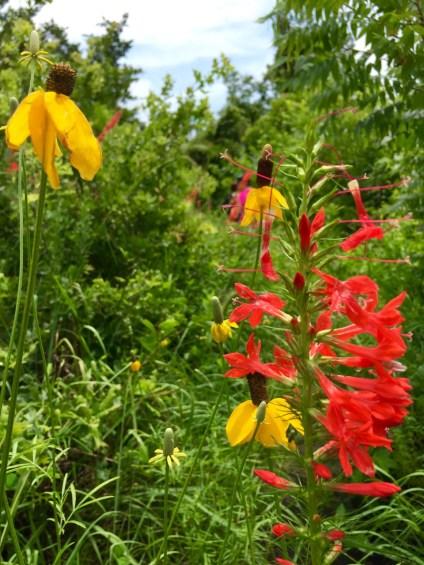 Wildflowers on the trail. | Wichita Mountains Wildlife Refuge, OK