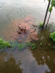Geese swim over the sidewalk. | Medicine Park, OK