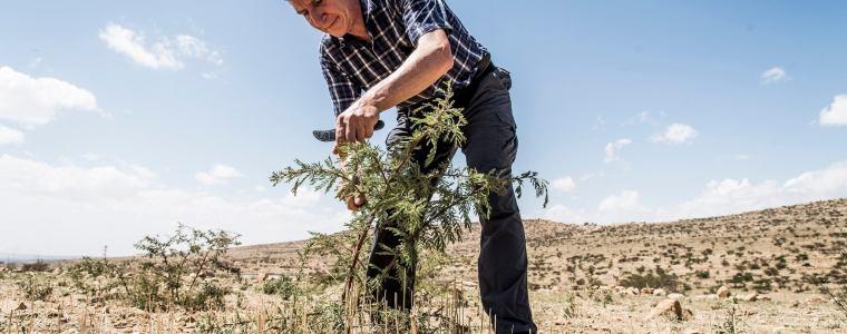Tony pruning shrubs in desert forest