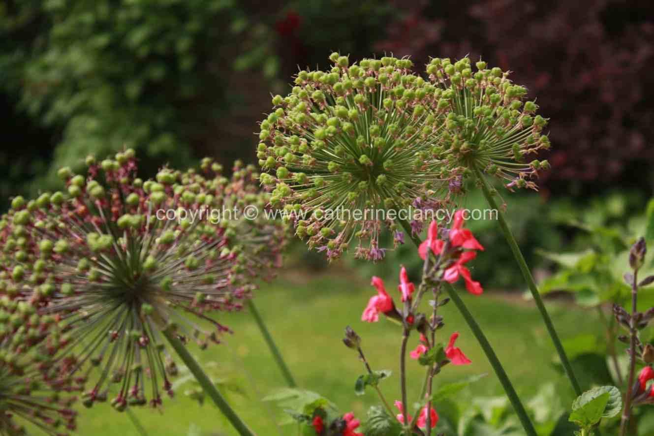 blackheath-walled-garden-allium