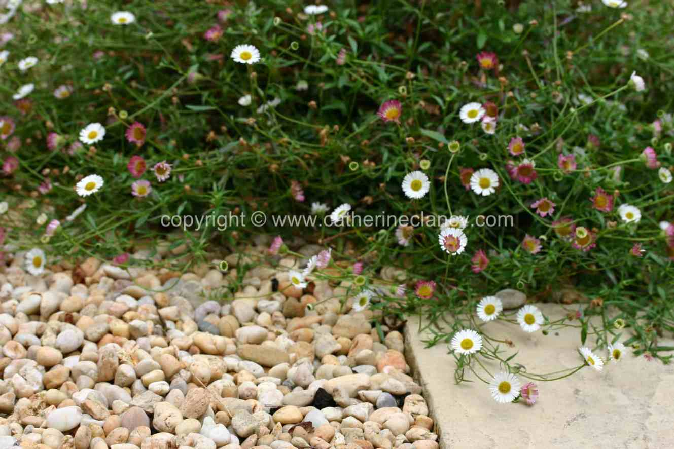 blackheath-walled-garden-daisy
