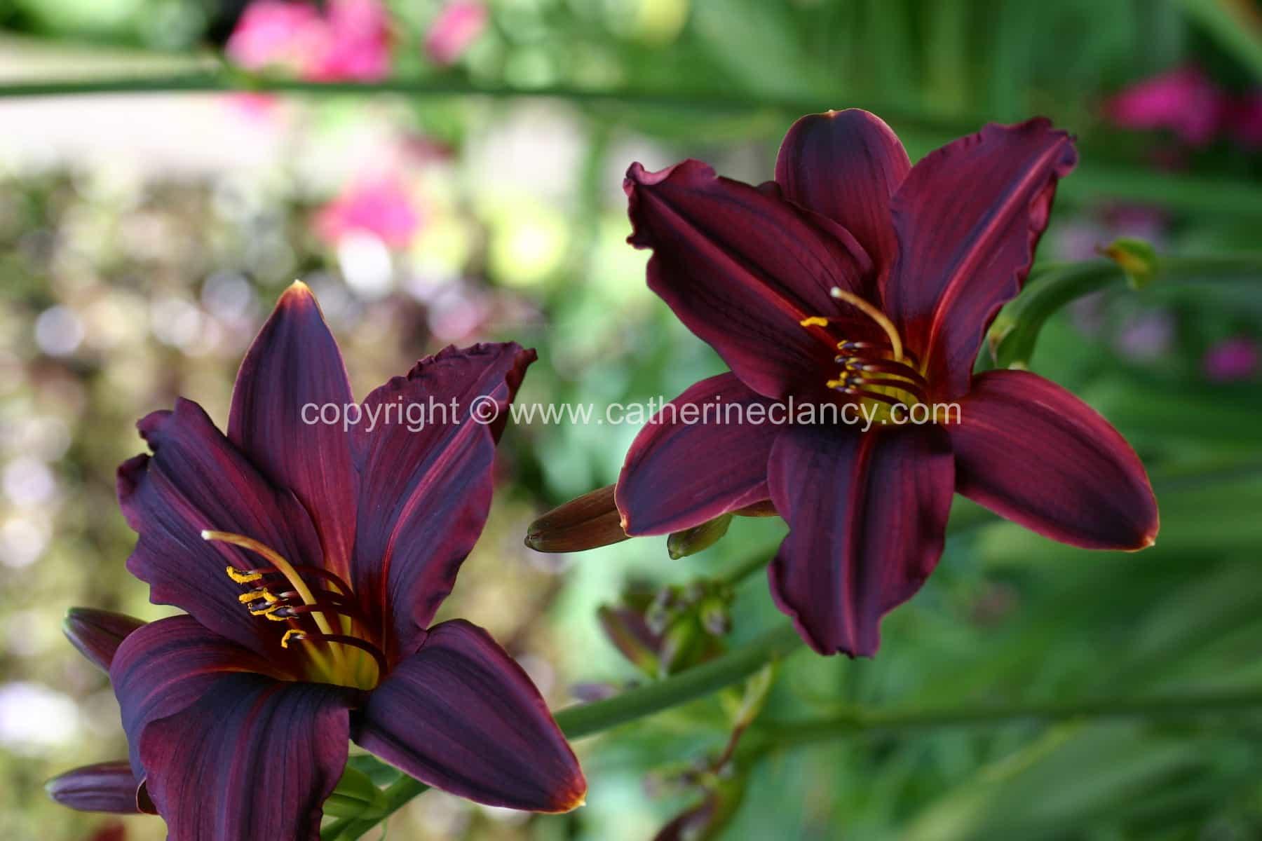 blackheath-walled-garden-day-lily