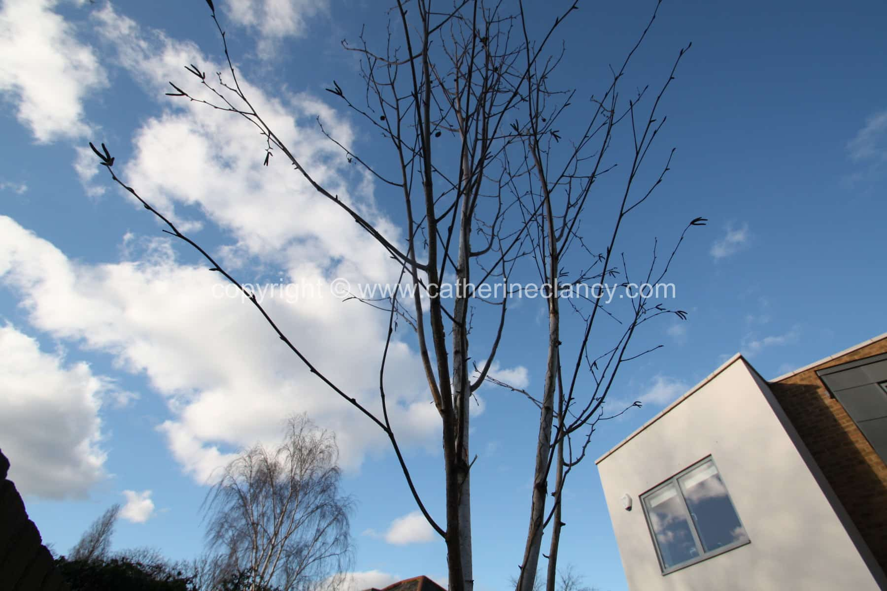 artist-studio-garden-silver-birch