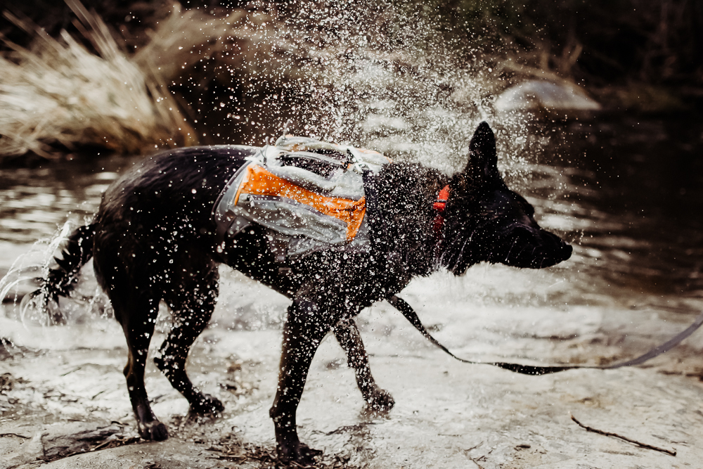 german shepherd dog shaking water off swimming in river {virginia beach lifestyle newborn child couples family maternity engagement photographer}