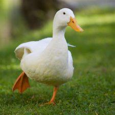 white duck running