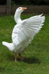 white goose flapping wings