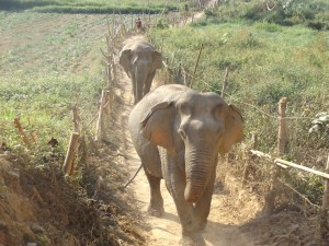 Two elephants walking