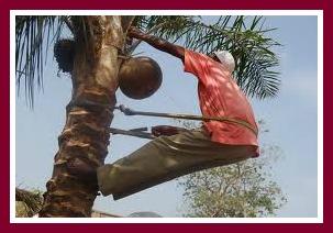 palm wine tapper on tree