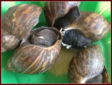 Nigerian land snails