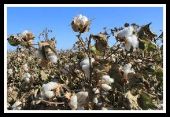 Cotton growing in California. Could Nigeria compete?
