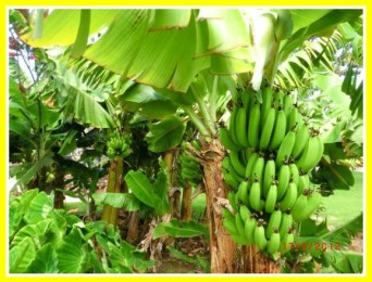 Banana trees from Andreas