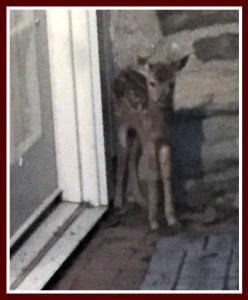 Frightened deer in the doorway, waiting for mom