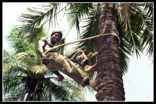 A palm wine tapper in the Gambia.