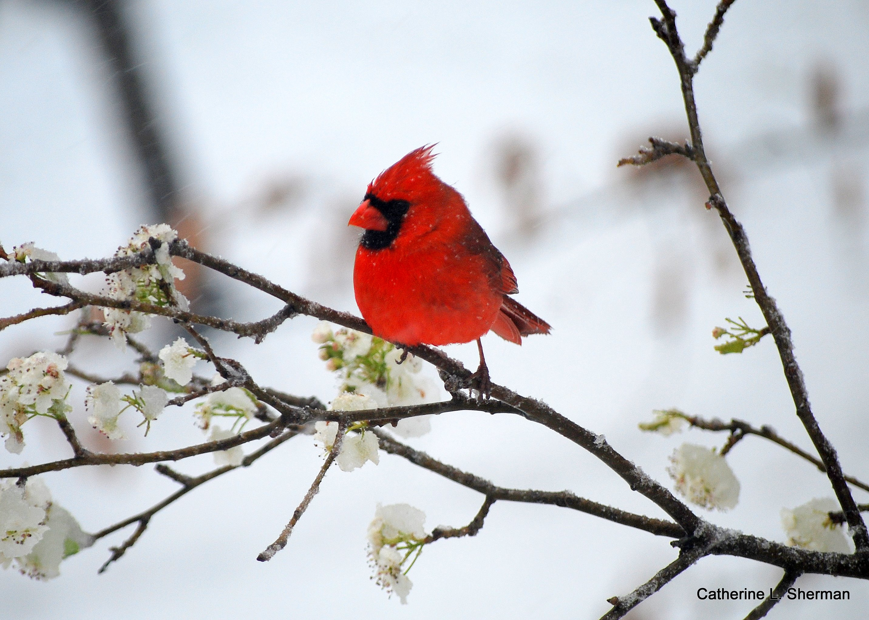 I dsicovered that birds are an extremely popular photography subject.  You need a twist.  Here, a cardinal holds on for dear life as he's buffeting in a snow storm on a pear tree branch. encrusted with ice The blossoms are covered with snow.