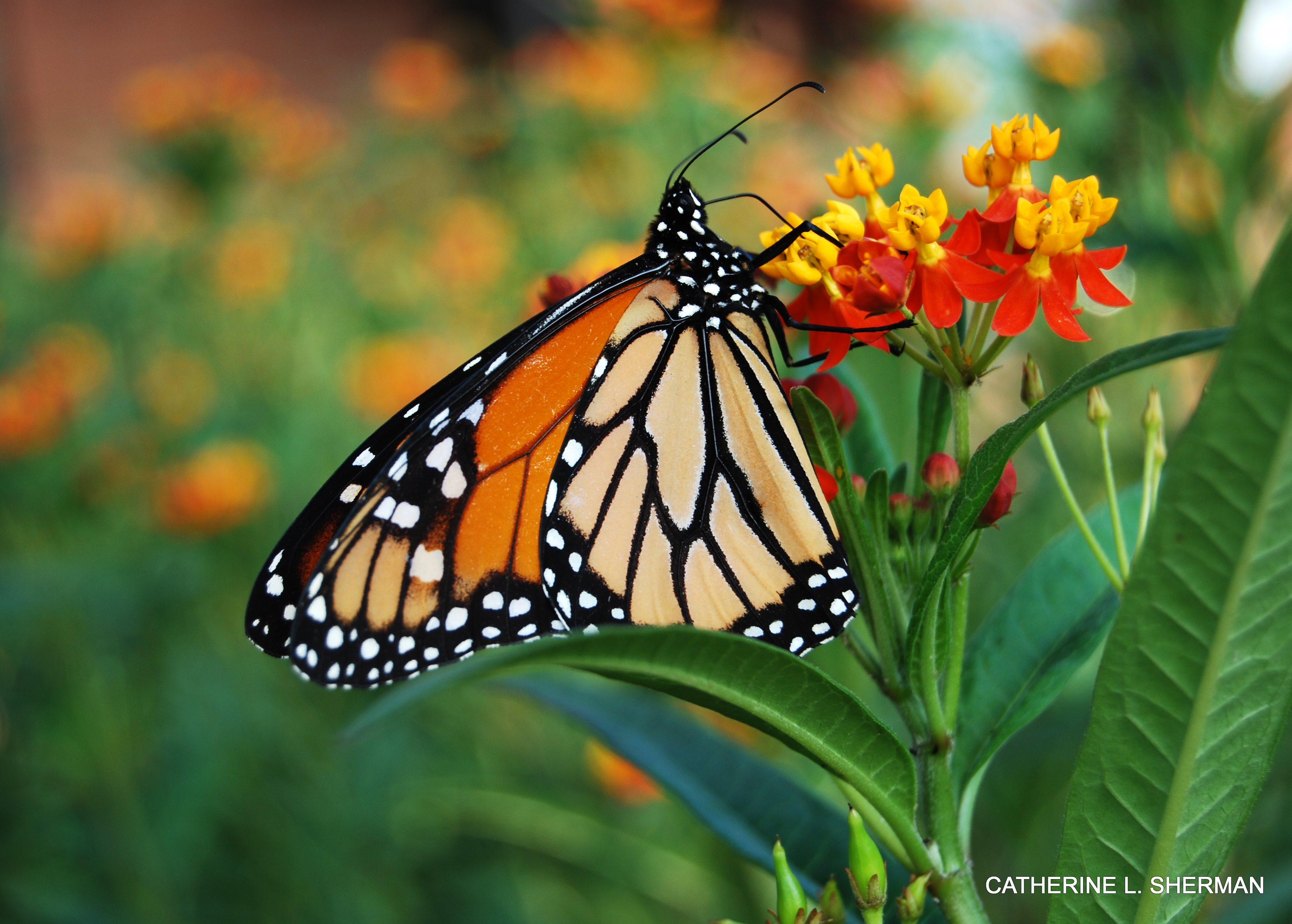 A Monarch butterfly finds nectar in the blossom of a scarlet milkweed, a tropical species.  I planted four kinds of milkweed, but the Monarchs by far preferred my scarlet milkweed.