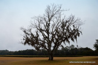 Spanish moss drapes a dormant pecan tree awaiting Spring at the Charleston Tea Plantation in South Carolina.