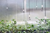 Sprinklers in the tea plant greenhouse are set to keep the tea cuttings at optimum moisture.