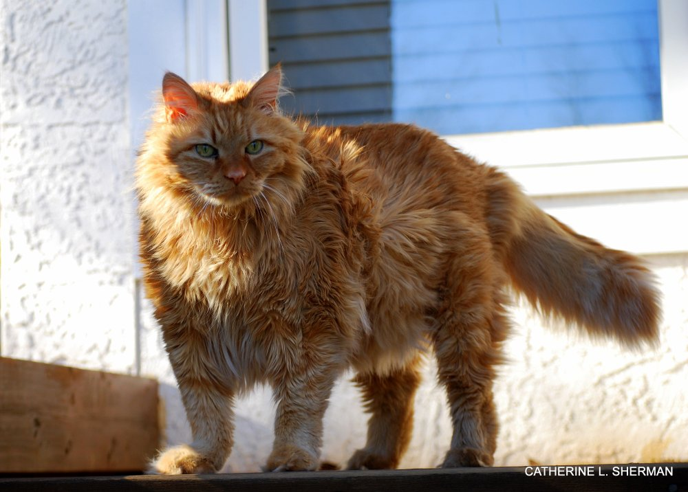 Malcolm is a Norwegian Forest Cat  -- Cat of the Vikings! (1/6)