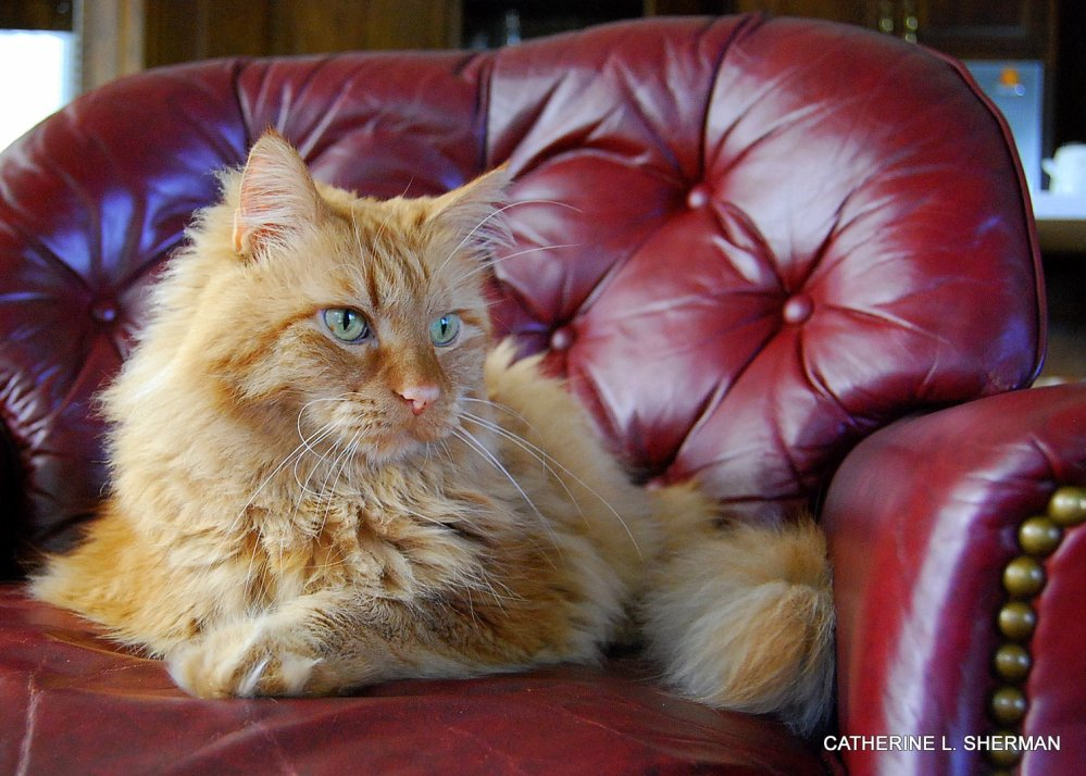 Malcolm is a Norwegian Forest Cat  -- Cat of the Vikings! (6/6)