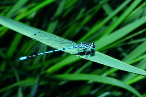 metaphore-libellule-mort