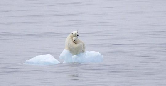polar bears balancing on ice