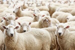 a flock of sheep symbolizing members of the Catholic Church