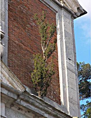 Tree growing without soil on the wall of church built as the Virgin Mary said