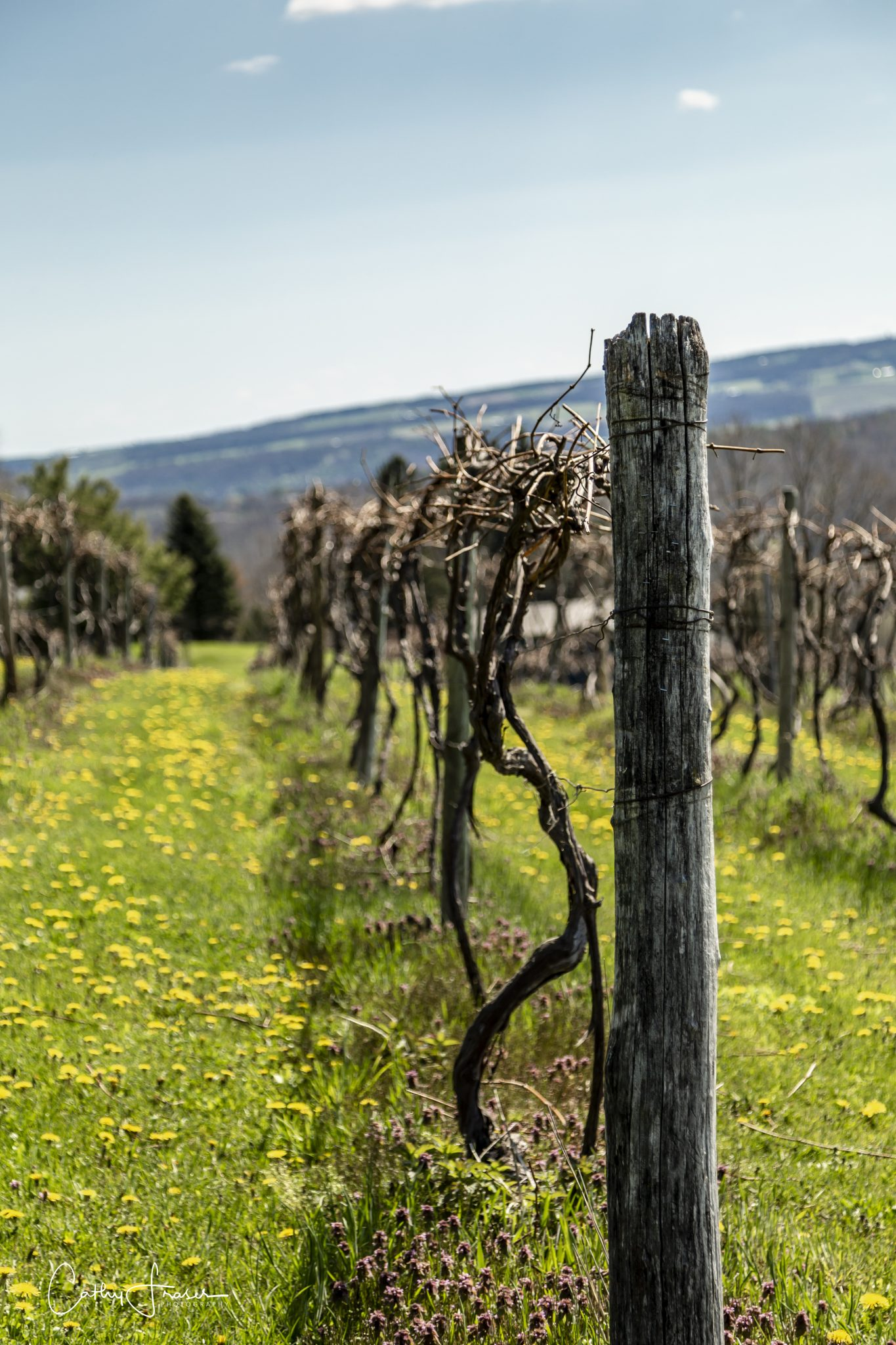 Landscape Photography of a vineyard in New York