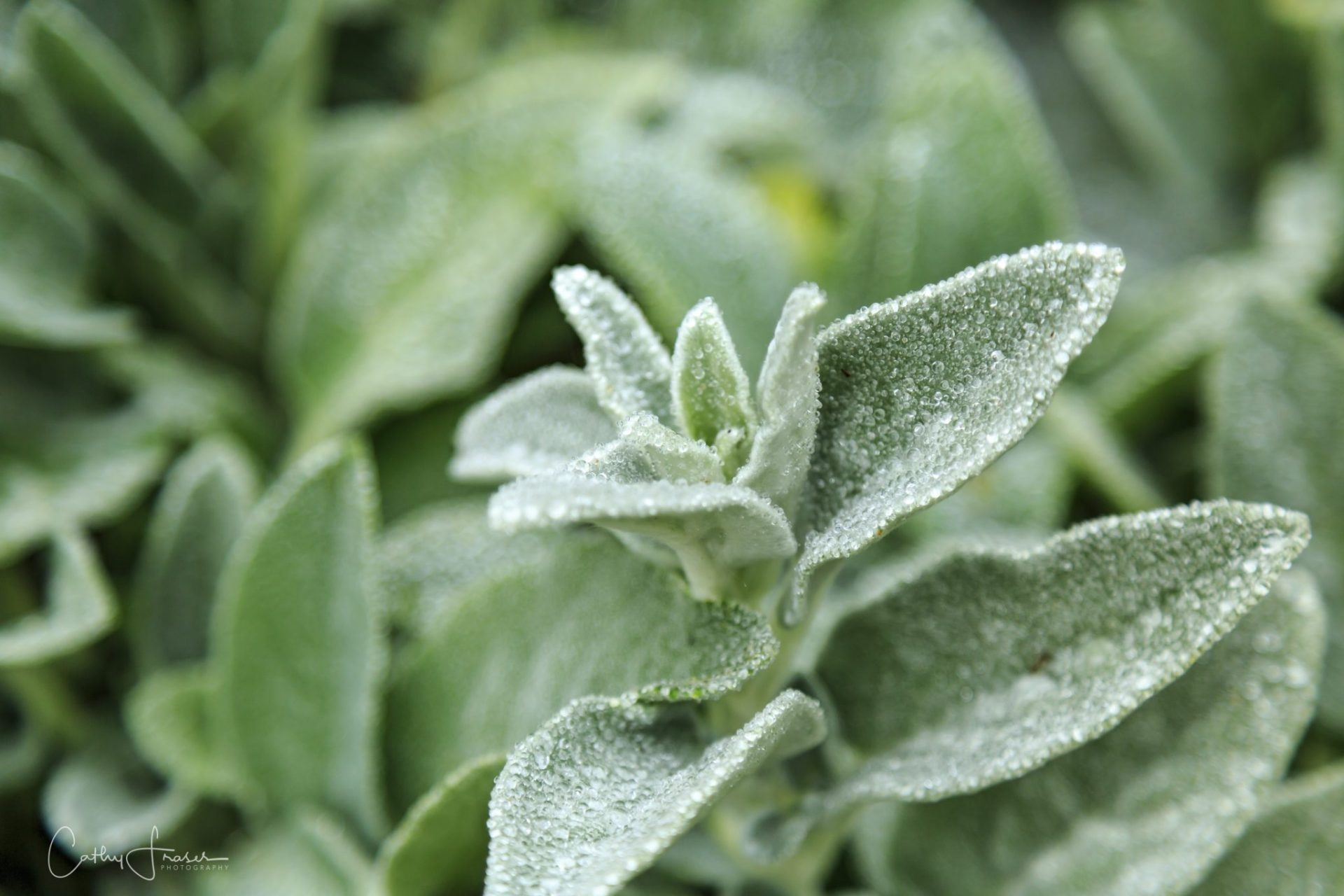 landscape photography of raindrops on lambs ears