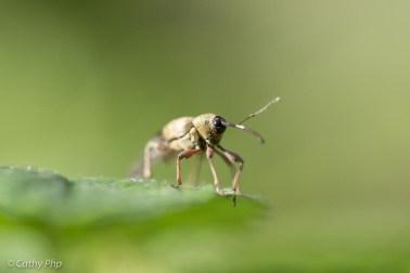 20160805-hazelnootboorder insect cathyphp macro groen natuur kever