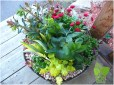 Container Garden with Perennials: Heuchera, Hellebore, Bellis, Euphorbia.