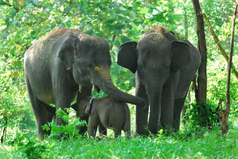 Fauna Gajah