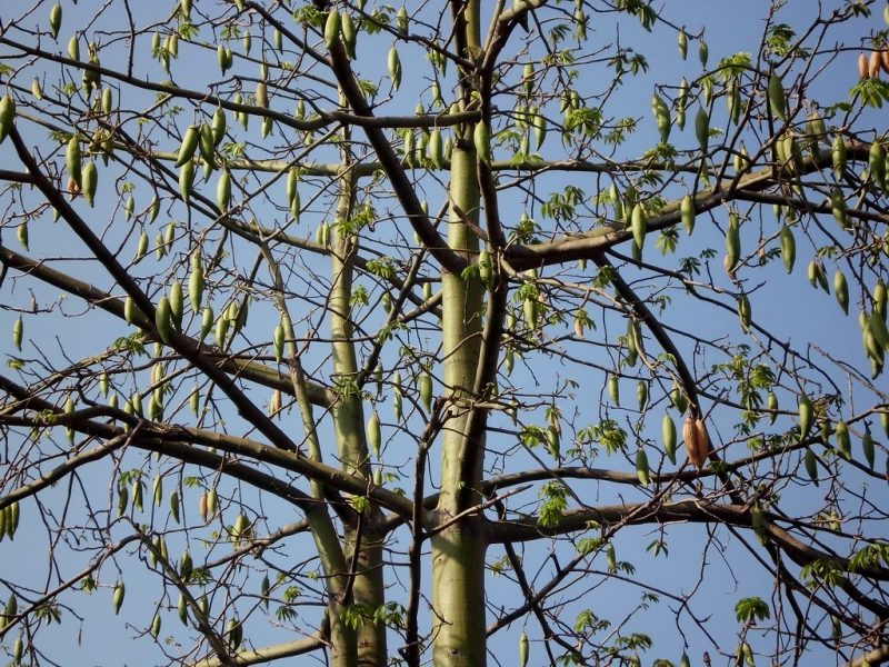 Pohon Kapuk Randu