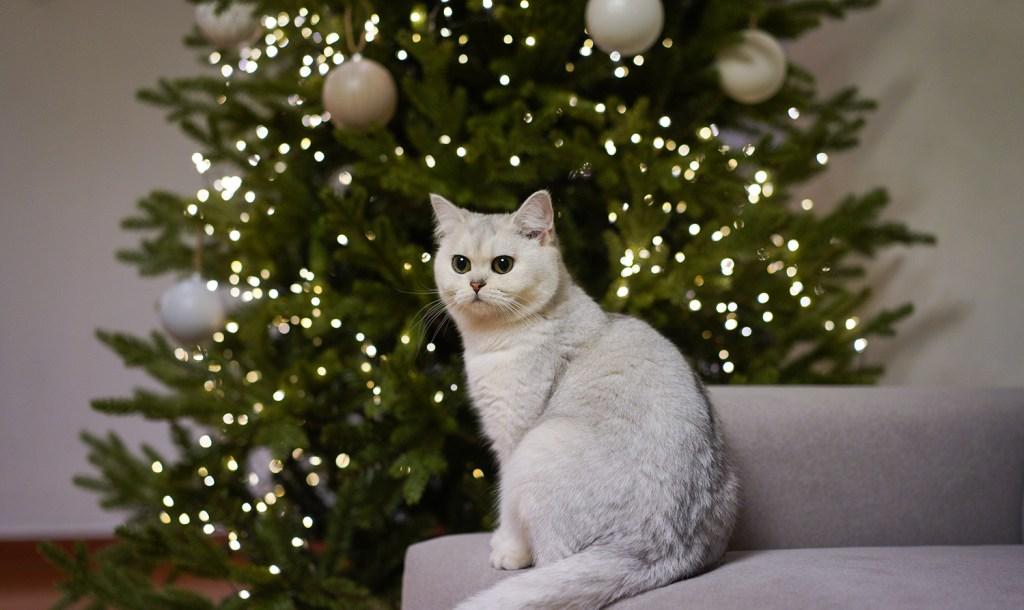 Katze sitzt vorm Weihnachtsbaum.