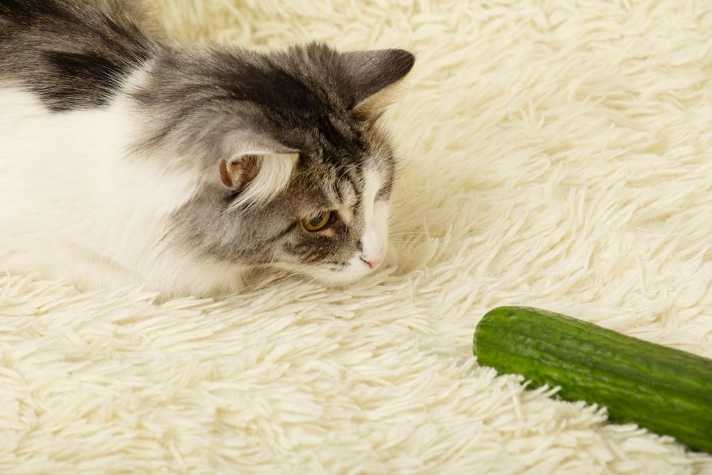 Katzen und Gurken