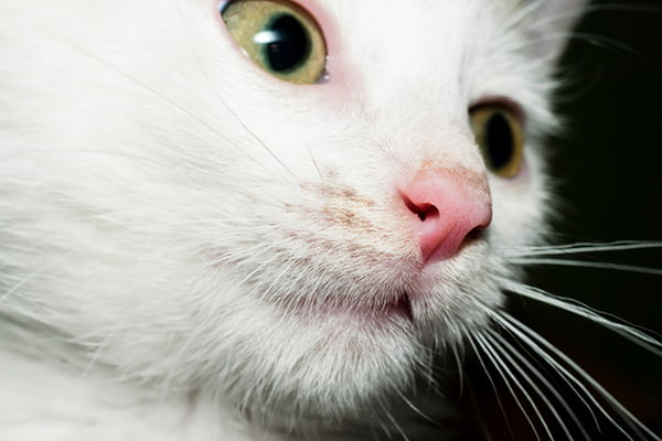 Why Does My Cat's Nose Change Color?
