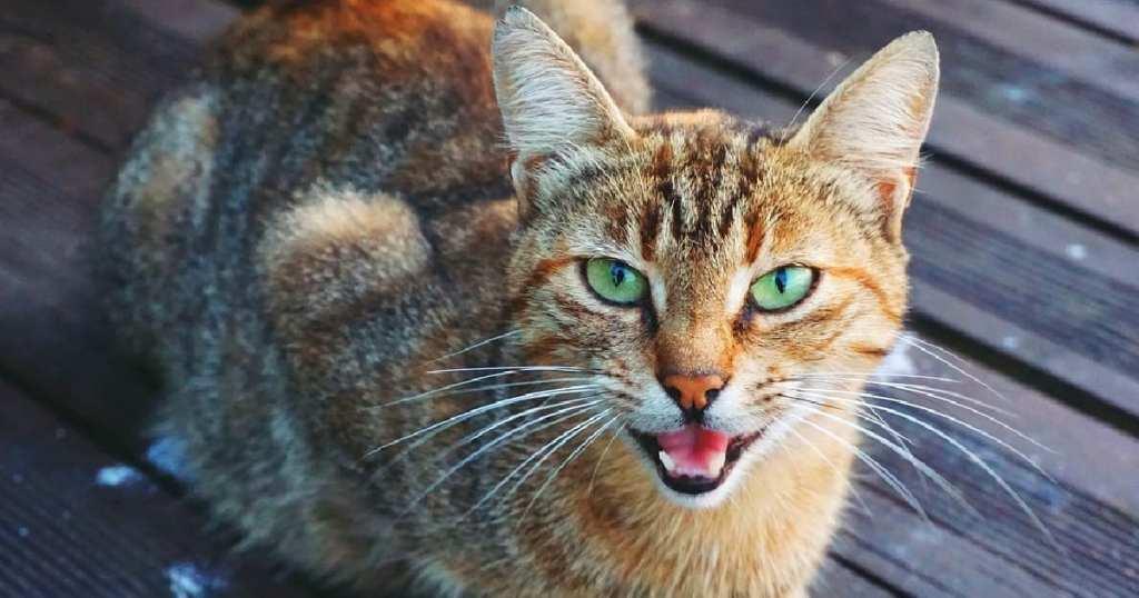 MeowTalk App Makes Cat Meows More Understandable