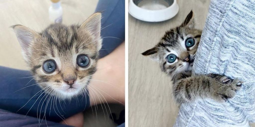 Kitten Bounced Back to Health, Seeks Constant Companion, Now Blossoms into Happiest Tabby Cat