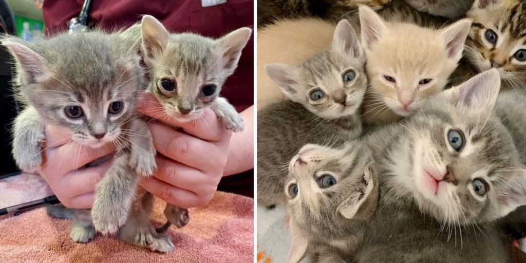 Kitten Half the Size of His Litter Mates, Turns the Corner and Determined to Thrive