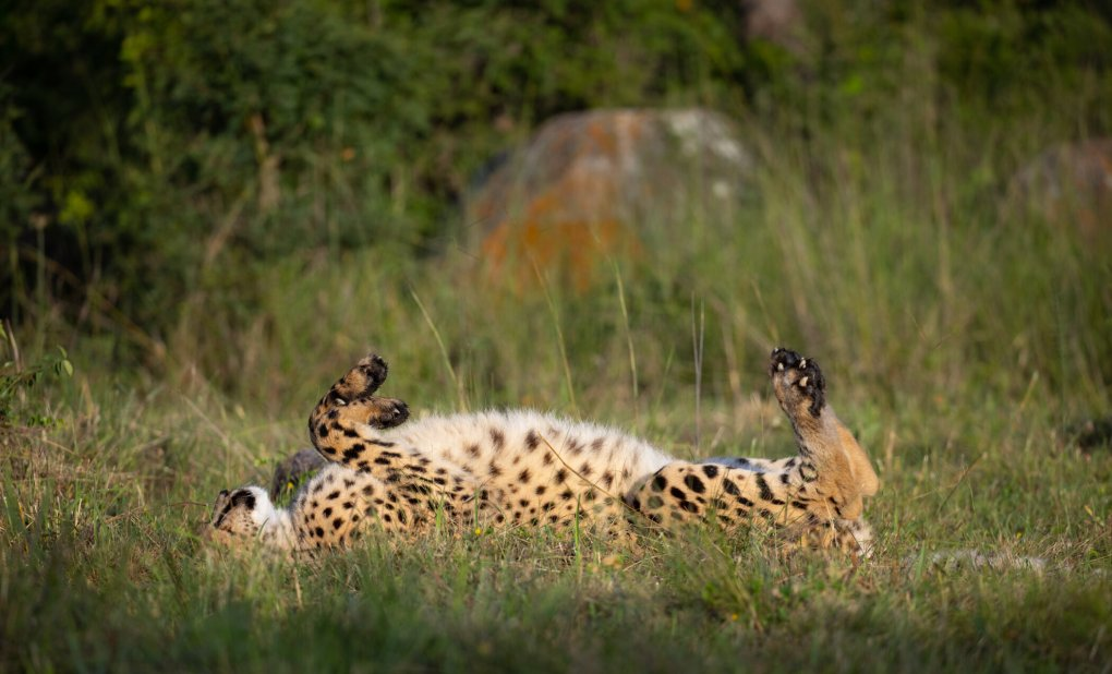 Two Canadian-Born Cheetah Now Hunting Successfully on Zimbabwean Reserve