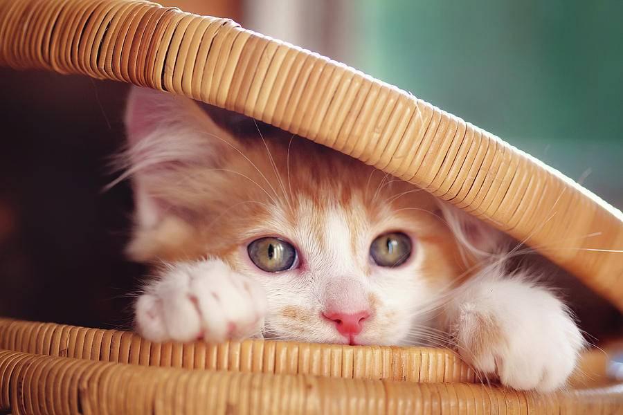 orange-and-white-kitten-in-basket-sarahwolfephotography